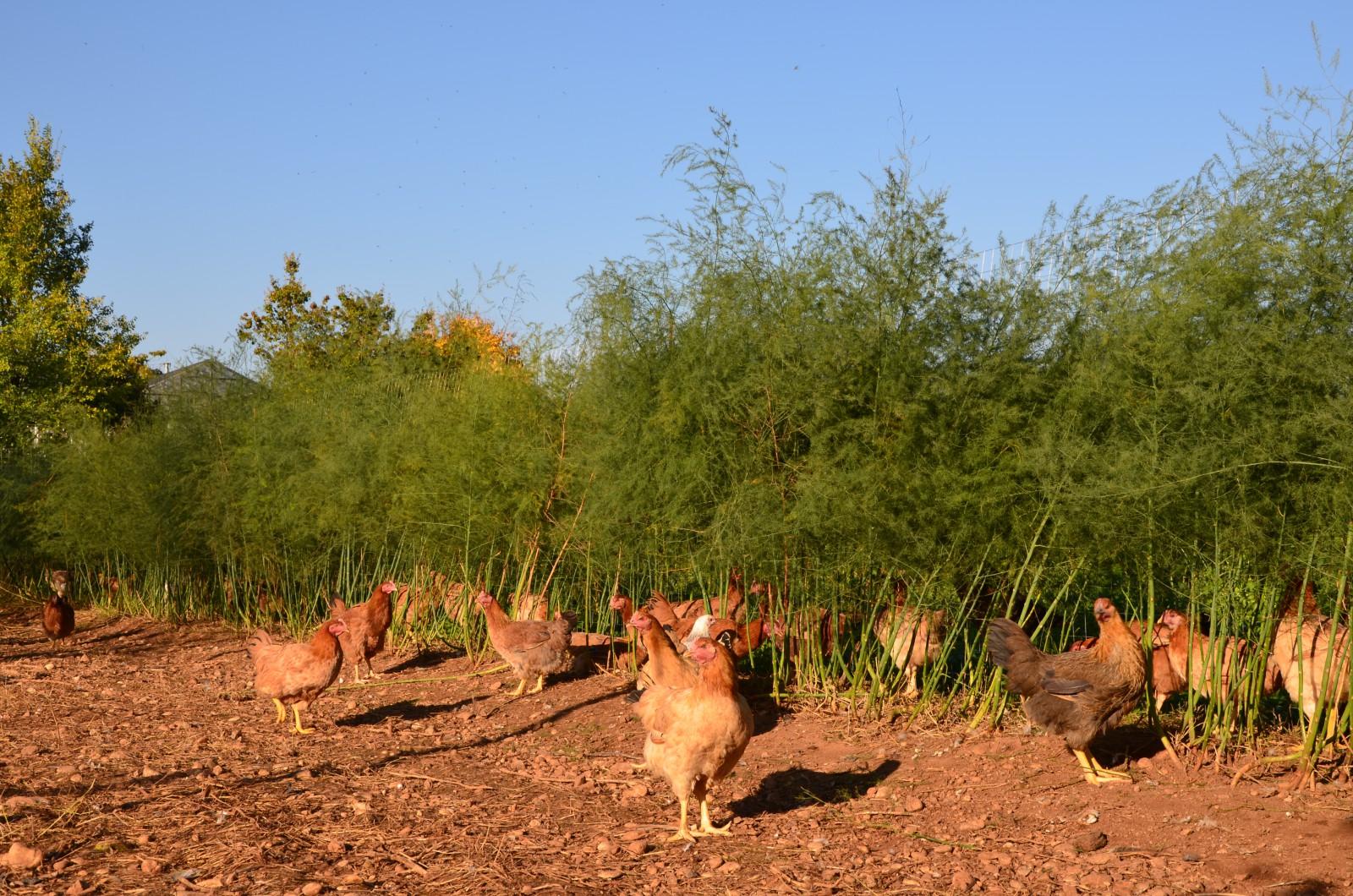Polli allevati in consociazione