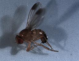 Drosophila suzukii: maschio. Sono ben visibili le macchie nere sulle ali che permettono di riconoscere gli esemplari a occhio nudo.