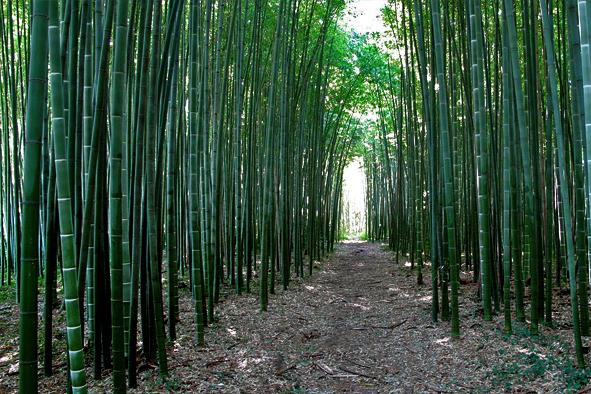 Significativo incremento bambuseti italiani